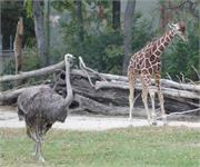 The new baby giraffe and ostrich