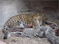 The jaguar rests in the shade on a very hot day