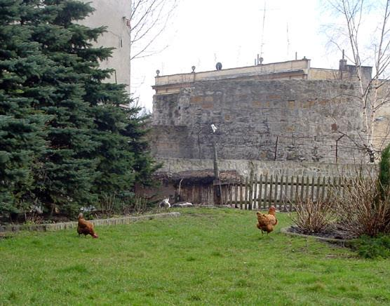Chickens in the yard, next to the old walls of the city
