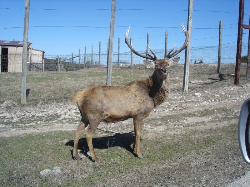 Here is an elk that stopped to check us out on our drive through Fossil Rim Wildlife park outside of Glen Rose, Texas.