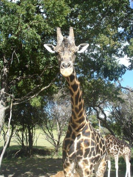 Giraffe Says Hello at Fossil Rim Wildlife Park