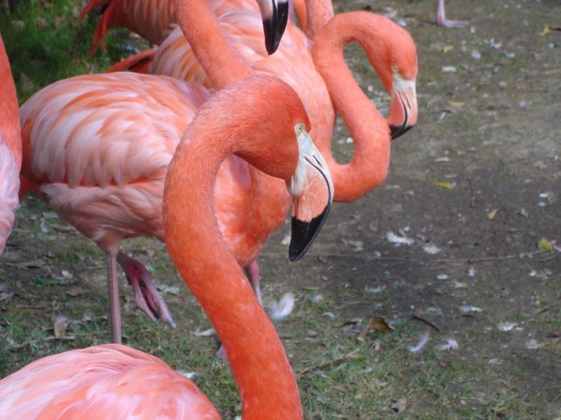 Pink Flamingo at Dudley Zoo