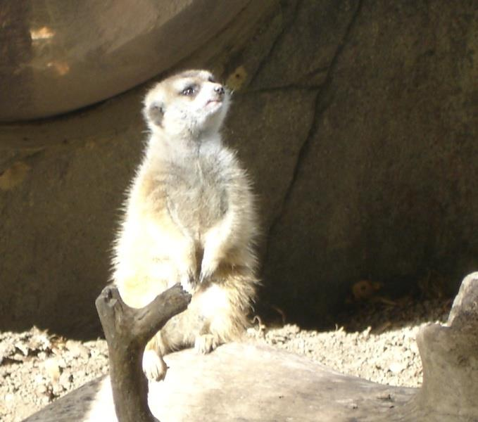 Meerkat from Disney Animal Kingdom.  Where is Pumba?