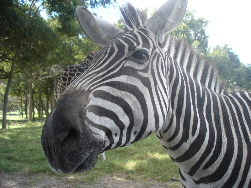 zebra-at-fossil-rim-wildlife-park